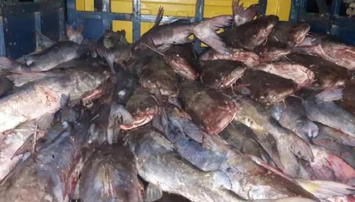 মঞ্জু গাজীর জালে ধরা পড়া মেইদ মাছ -সমকাল